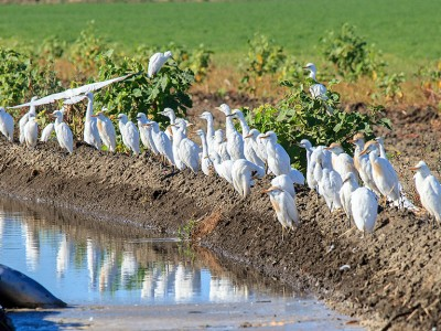 egrets by canal