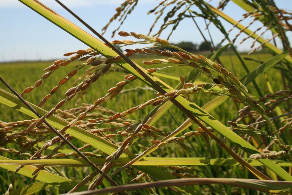Weedy Rice Survey – Your help is needed