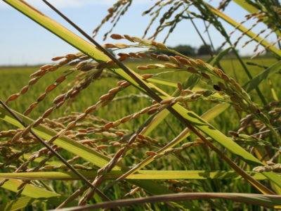 Register now for the August 1 Weedy Rice Workshop